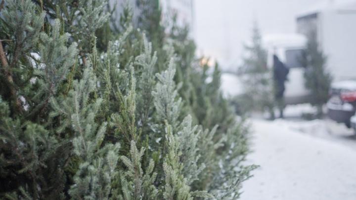 В Поморье елочных «браконьеров» будут ловить до 31 декабря