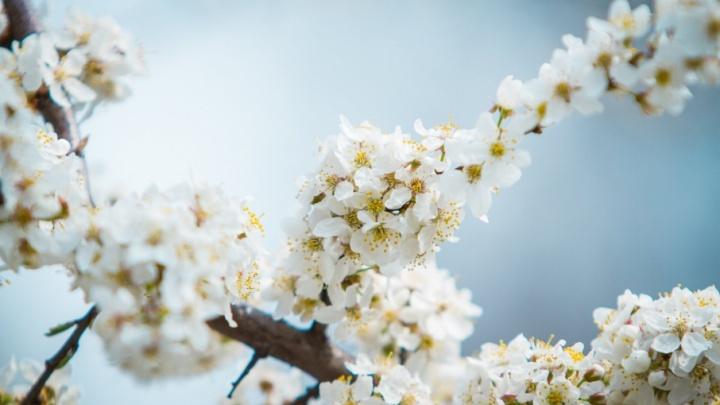 Запахло весной: в Ростове зацвели деревья и цветы