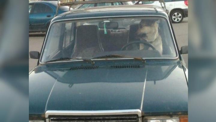 Злой водитель: ярославцы обсуждают фото собаки за рулём «семёрки»