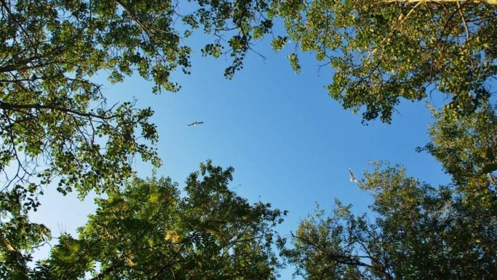 Администрация Архангельска определилась с деревьями для «Аллеи Славы»