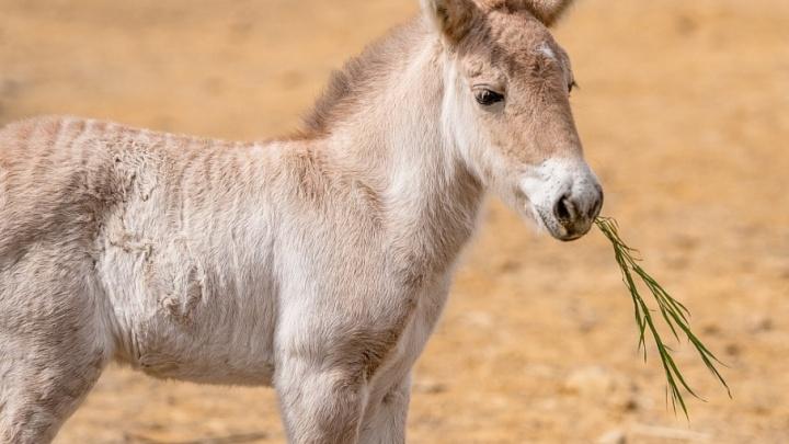 В ростовском зоопарке у лошади Пржевальского родился жеребенок