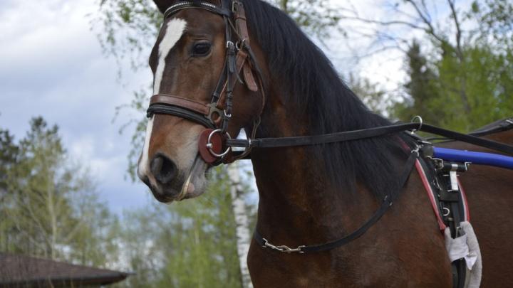 Лошади орловской породы из Вельска победили в конном фестивале СЗФО
