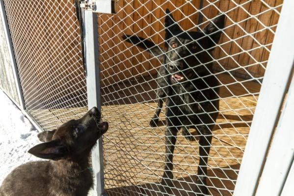 Сейчас в питомнике находятся 43 собаки