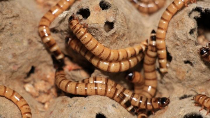 Пробуем личинку на вкус: архангельский ученый создает уникальные продукты из насекомых