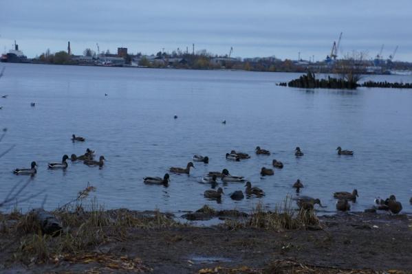 Улететь из Архангельска уткам лучше всего в октябре или начале ноября, а пока они собираются в стаи