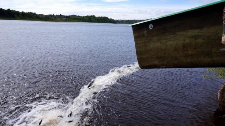 Плыви, кумжа, плыви: экологи АЦБК выпустили в Онегу 2018 мальков