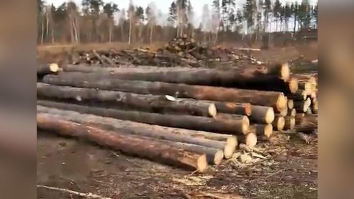 В челябинском бору массово вырубают сосны, пострадавшие от лесных пожаров