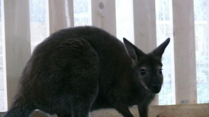 За поимку котласского кенгуру Вени заплатят 30 тысяч рублей