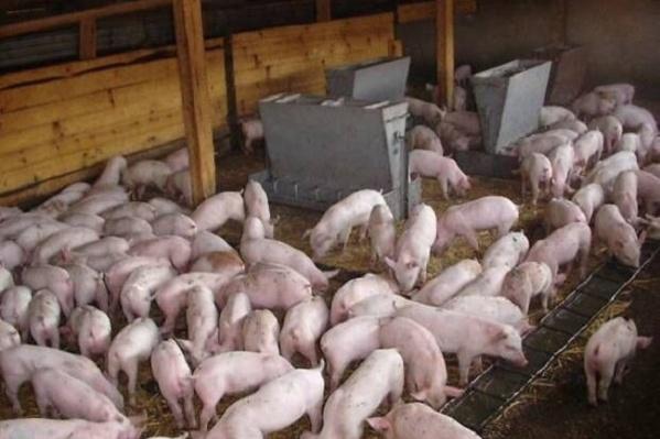 Свинокомплекс сможет возобновить работу по разведению свиней только через год