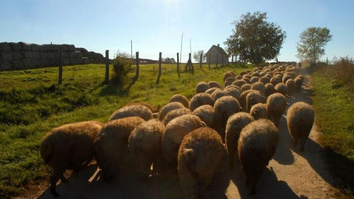 Калачевскому району дали 48 часов на уничтожение свиней