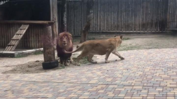 В Ростовском зоопарке льва и львицу поселили в один вольер в надежде на потомство