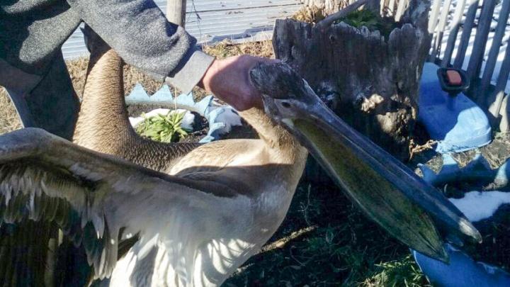 Пеликана, который несколько дней жил в курятнике на Шершнях, приютит зоопарк