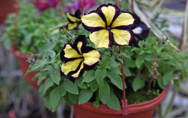 Власти показали, какими цветами к лету украсят Ярославль