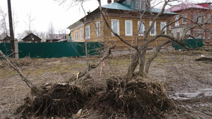 Яблони на Ленинградском проспекте от вырубки решили спасти неравнодушные архангелогородцы
