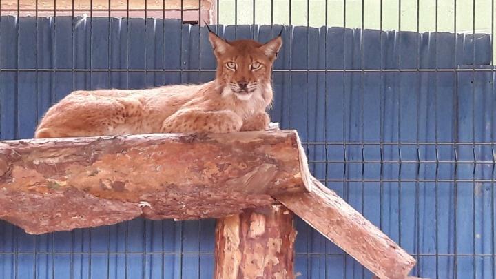Благодаря истории рыси Марыси из Челябинска в закон о защите животных внесут важные поправки