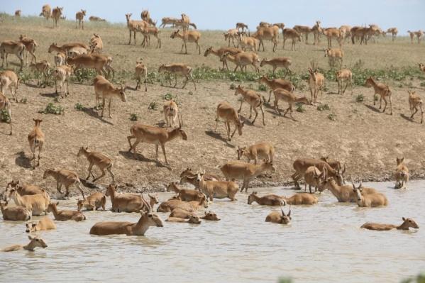 Животное находится на грани вымирания и особо охраняется законом