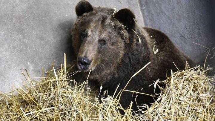 Медведи в городе: в Ростове из леса к жилым домам вышел бурый гость