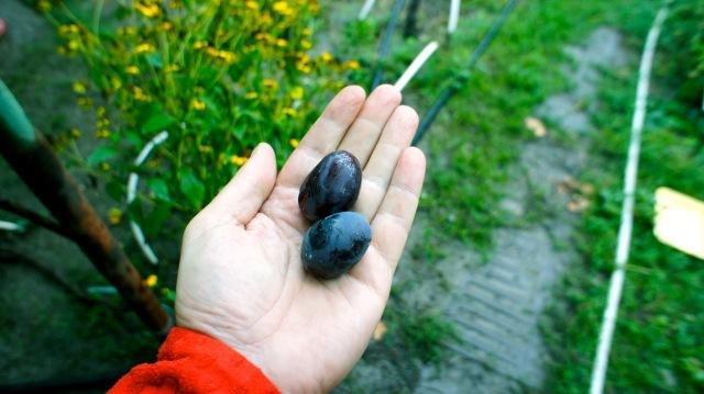 Огромные ягоды столового винограда с виноградника казака Николая Качуры. Его крошечный виноградник занимает буквальное несколько соток прямо на приусадебном участке, а виноград считается одним из самых вкусных в Ростовской области