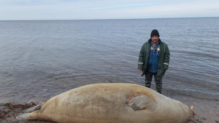 В Белом море зафиксирована массовая гибель тюленей и других животных