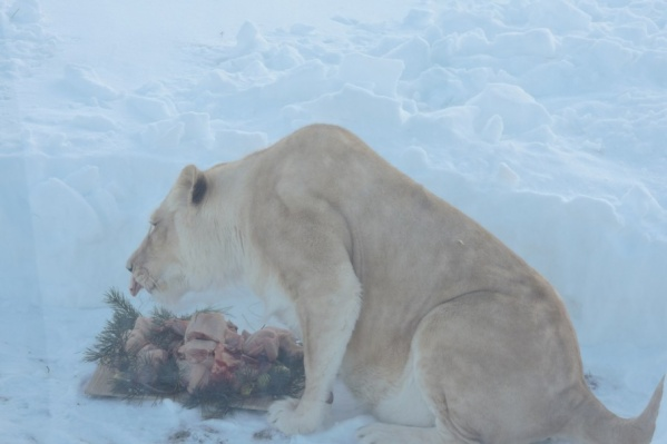 Для львов приготовили вкусный ужин