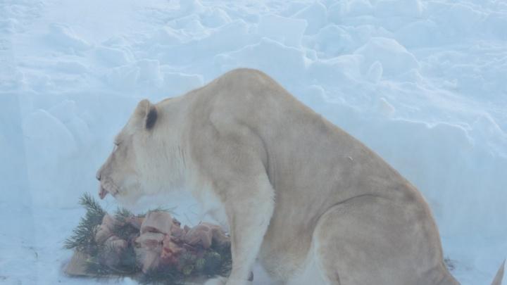 На День влюбленных белым львам приготовили романтический ужин