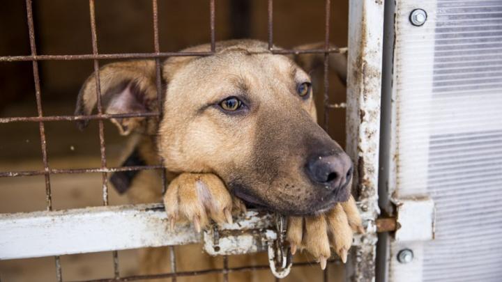 «Собакам на жизнь отводят десять дней, но мы даём им шанс»: как живётся бездомным псам в САХе