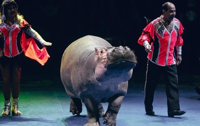 Редкие трюки от Ростовского цирка: что умеет дрессированный бегемот