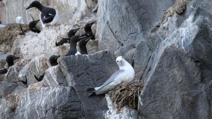 Изменения климата в Арктике заставляют птиц Новой Земли и Шпицбергена менять места обитания