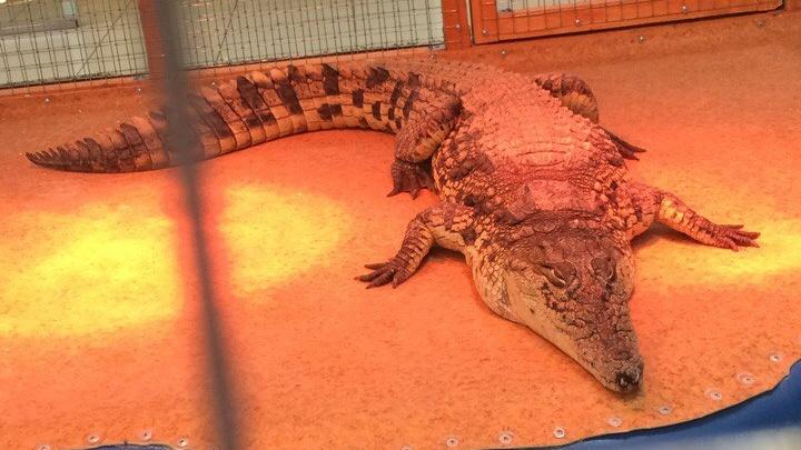 Архангелогородцы хотят спасти нильского крокодила из бассейна с монетами в ТЦ «Атриум»