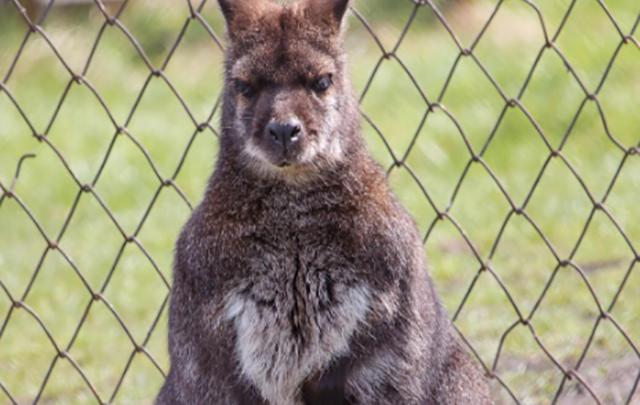 В челябинском зоопарке родился кенгурёнок