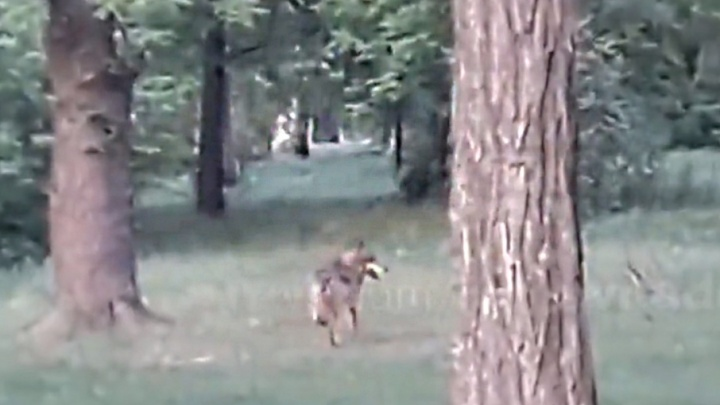 Забивака готовится к ЧМ: в Ростове снова заметили волка
