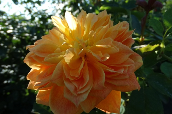 У старинных роз чашевидная форма цветка