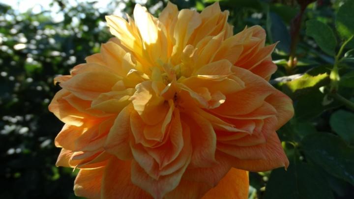 В волгоградском ботаническом саду зацвели винтажные розы