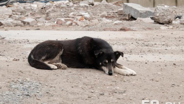 Пермяки смогут следить за отловом бездомных собак через мобильное приложение