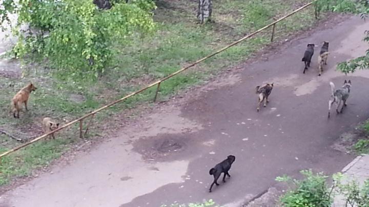 В Тольятти стая агрессивных бесхозных собак бросается на людей