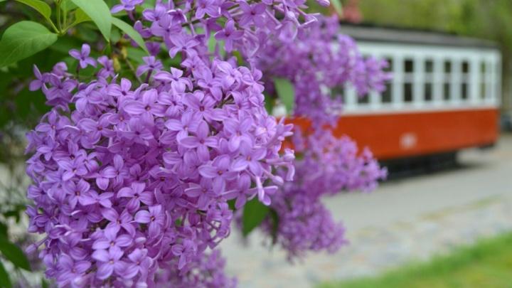 Сирень в Волгограде: смотрите фоторепортаж о мимолетной красоте