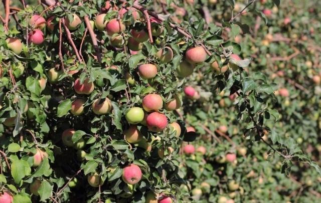 Сады Придонья закончили сельскохозяйственный сезон с отличными показателями
