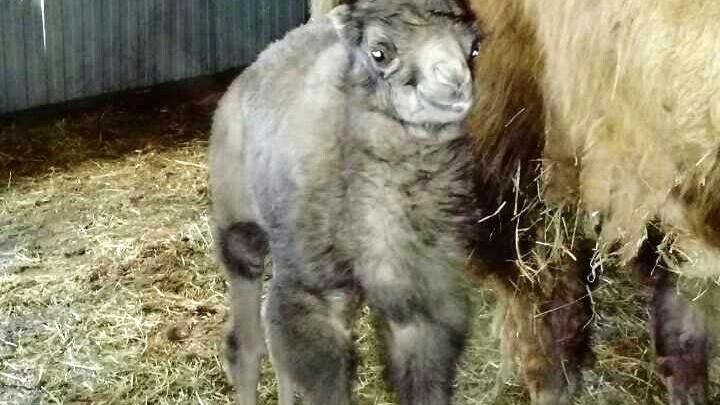 В тюменском зоопарке родился верблюжонок: малыша назвали Апрель