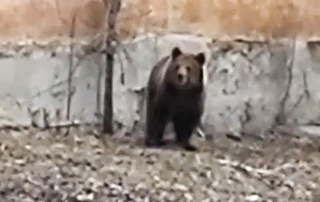 «Просто выгуливали»: медведь, снятый на видео в Челябинске, оказался цирковым