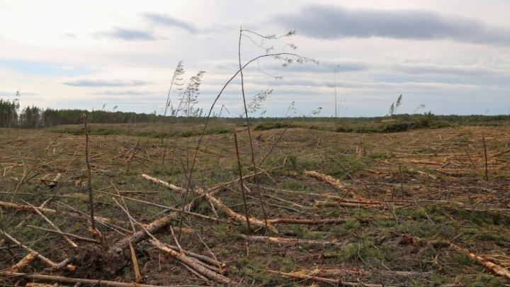 Чиновники пообещали восстановить вырубленный около Криводанова лес