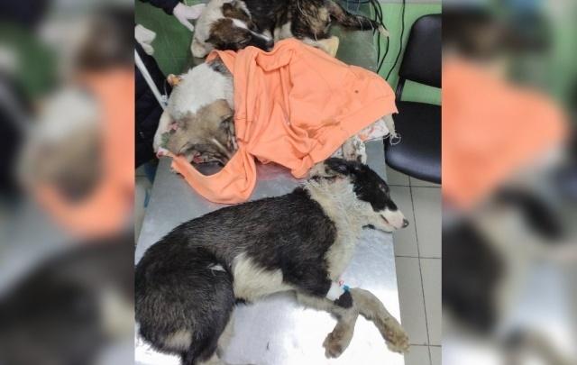Ветврачи пермской клиники: щенки из муниципального приюта были изнасилованы