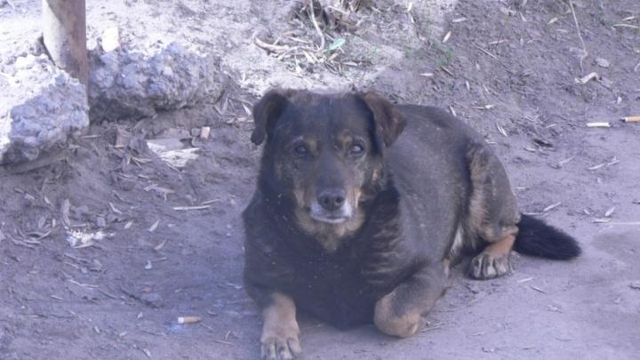 Эвтаназия или кастрация: в Самаре отловят около 7000 бездомных собак
