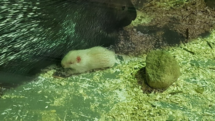 В зоопарке Ярославля родился дикобраз-альбинос: смотрим фото малыша