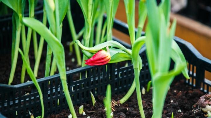 На следующей неделе в Тюмени высадят тюльпанов на миллион рублей