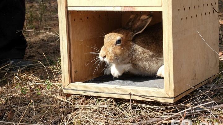 Зайцев из пермского зоопарка отпустили в Черняевский лес
