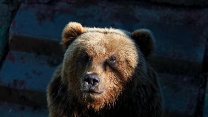 В Тюменской области застрелили медведицу, забредшую на территорию завода