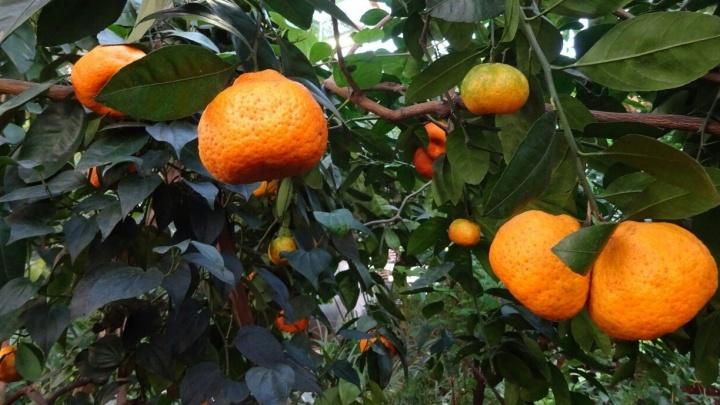 В Ботаническом саду созрел небывалый урожай мандаринов-отпускников