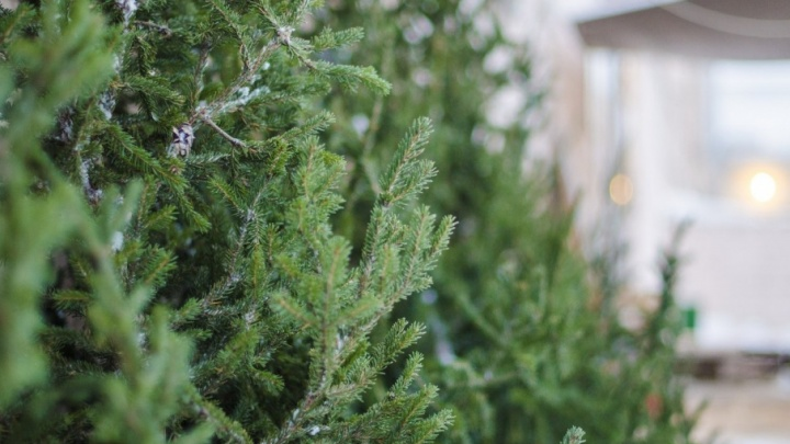 Купить или срубить: рассказываем, как выбрать живую елку в Архангельске