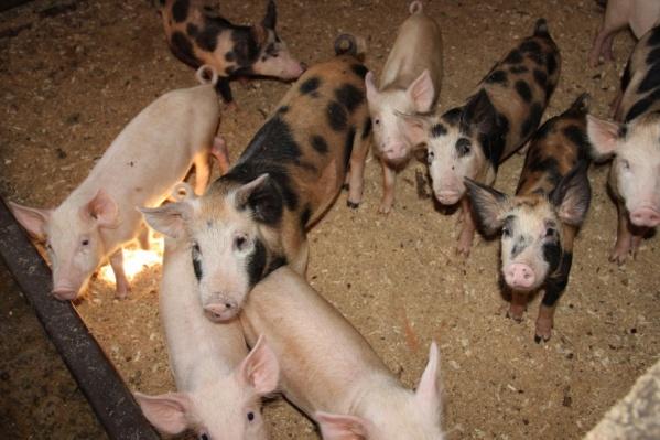 Ранее чуму свиней в Архангельской области зарегистрировали в 2011 году в Приморском и Плесецком районах
