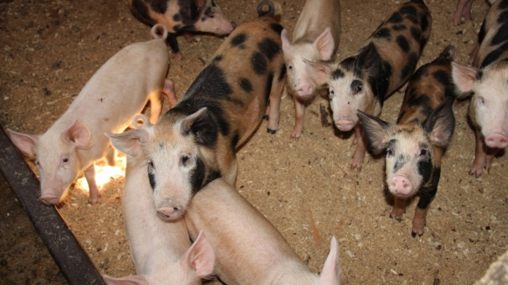 К декабрю в Архангельской области отменят карантин по африканской чуме свиней